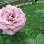 玫瑰-紫星 1061202_3 士林官邸眾星雲菊.JPG
