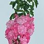 玫瑰-奧圖林 1070202_2 中和綜合運動場.JPG