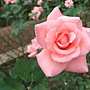 玫瑰-愛子公主 1061202 士林官邸眾星雲菊.JPG