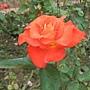 玫瑰-聖女 1061202 士林官邸眾星雲菊.JPG