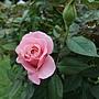 玫瑰-聖母 1061202 士林官邸眾星雲菊.JPG