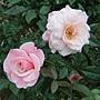 玫瑰-聖母大教母 1061202_1 士林官邸眾星雲菊.JPG