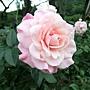 玫瑰-聖母大教母 1061202_2 士林官邸眾星雲菊.JPG