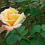 玫瑰-榮光 1061202 士林官邸眾星雲菊.JPG