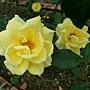 玫瑰-福利吉亞 1061202 士林官邸眾星雲菊.JPG
