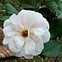 玫瑰-遙遠鼓聲 1061202 士林官邸眾星雲菊.JPG