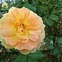 玫瑰-魔力光輝 1061202_2 士林官邸眾星雲菊.JPG