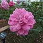 玫瑰-憂鬱男孩 1061202 士林官邸眾星雲菊.JPG