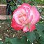 玫瑰-摩洛哥公爵 1061202_1 士林官邸眾星雲菊.JPG