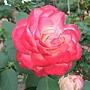 玫瑰-摩洛哥公爵 1061202_2 士林官邸眾星雲菊.JPG