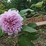 玫瑰-藍色天空 1061202 士林官邸眾星雲菊.JPG