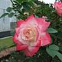 玫瑰-櫻桃派 1061202_1 士林官邸眾星雲菊.JPG