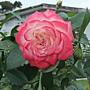 玫瑰-櫻桃派 1061202_2 士林官邸眾星雲菊.JPG