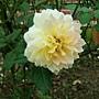玫瑰-魔妮琉 1061202 士林官邸眾星雲菊.JPG