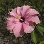 朱槿(淡紫色奇蹟) 1070402_1 榮星花園.JPG
