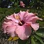 朱槿(淡紫色奇蹟) 1070402_3 榮星花園.JPG