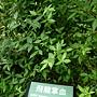 飛龍掌血 1070504 台北植物園.JPG