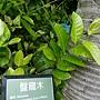 盤龍木 1070504_1 台北植物園.JPG