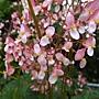 楓葉秋海棠1070504_2 台北植物園.JPG