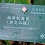 楓葉秋海棠1070504_5 台北植物園.JPG