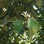 槭葉翅子樹 1070504_4 台北植物園.JPG