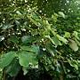 槭葉翅子樹 1070504_5 台北植物園.JPG