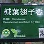 槭葉翅子樹 1070504_6 台北植物園.JPG