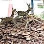 無根的樹-裝買藝術 1070504_1 台北植物園.JPG