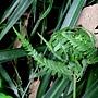 粗毛鱗蓋蕨 蟲包 1070702_1 圓通寺.JPG