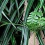 粗毛鱗蓋蕨 蟲包 1070702_3 圓通寺.JPG