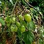 番茄 1070504_2 台北植物園.JPG