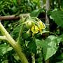 番茄(黑柿) 1070504_2 台北植物園.JPG