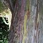粗皮桉 _1 1070703 台北植物園.JPG