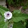 藥蜀葵 Althaea officinalis 1070725_2 4號公園.JPG