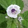 藥蜀葵 Althaea officinalis 1070725_3 4號公園.JPG