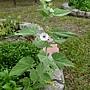 藥蜀葵 Althaea officinalis 1070725_6 4號公園.JPG