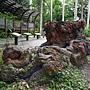 金龜樹 1070703_1-1 台北植物園.JPG