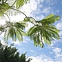 藍花楹 1070831_2 安邦公園.JPG