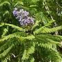 藍花楹 1070831_3 安邦公園.JPG