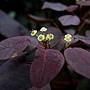 紫錦木(非洲紅) 1071016_04 莊敬路31巷.JPG