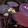 紫錦木(非洲紅) 1071016_05 莊敬路31巷.JPG