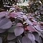 紫錦木(非洲紅) 1071016_08 莊敬路31巷.JPG
