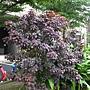 紫錦木(非洲紅) 1071105 莊敬路31巷.JPG