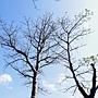 猢猻木 1080118_1 青年公園.JPG