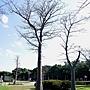 猢猻木 1080118_2 青年公園.JPG