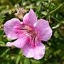 紫雲藤 1071107_1 雙和公園.JPG