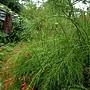 炮竹紅(花丁子) 1071004_6 台北植物園.JPG