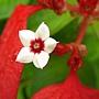 血萼花(紅葉金花) 1070824_1 中正紀念堂.JPG