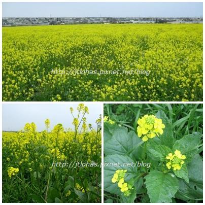 Wild Mustard-1.JPG