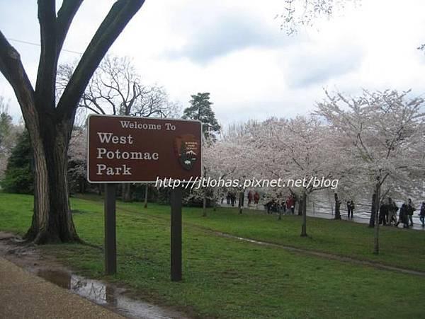 Cherry Blossom in Washington DC-3.JPG